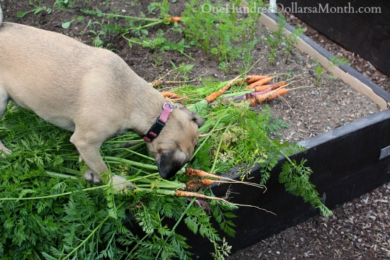 Mavis Garden Blog – Harvesting Carrots, Snow Peas and Strawberries