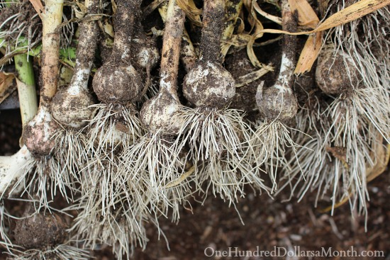 When to Harvest Garlic {And Garlic Scapes}