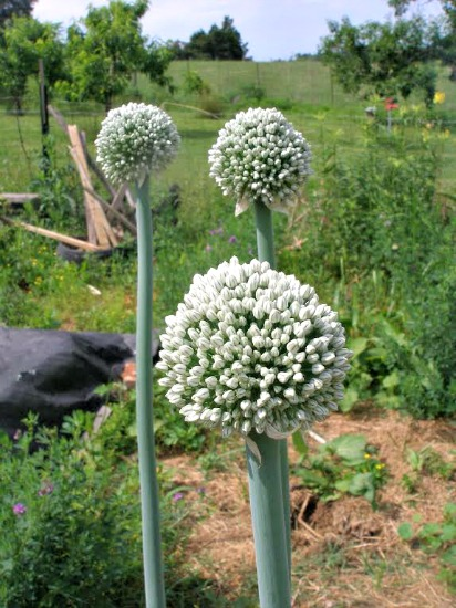 Jane From Thy Hand Hath Provided Sends in her Garden Pics