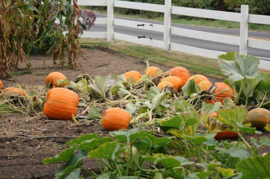 Picking the Right Pumpkin Variety for Your Garden