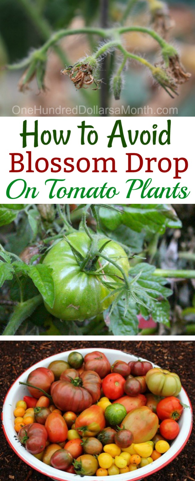 What Causes Blossom Drop in Tomatoes?