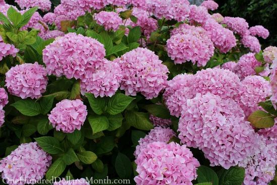 lavender hydrangea bushes