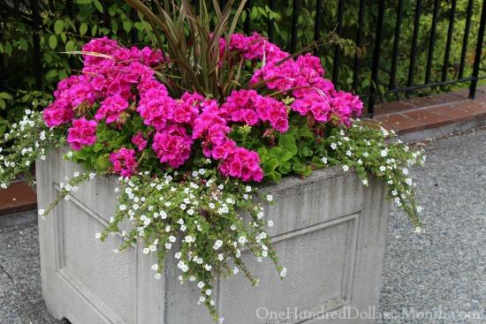 pink geraniums in flower garden