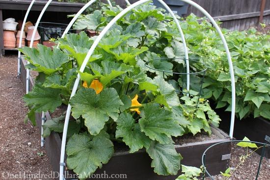growing zucchini in a garden box