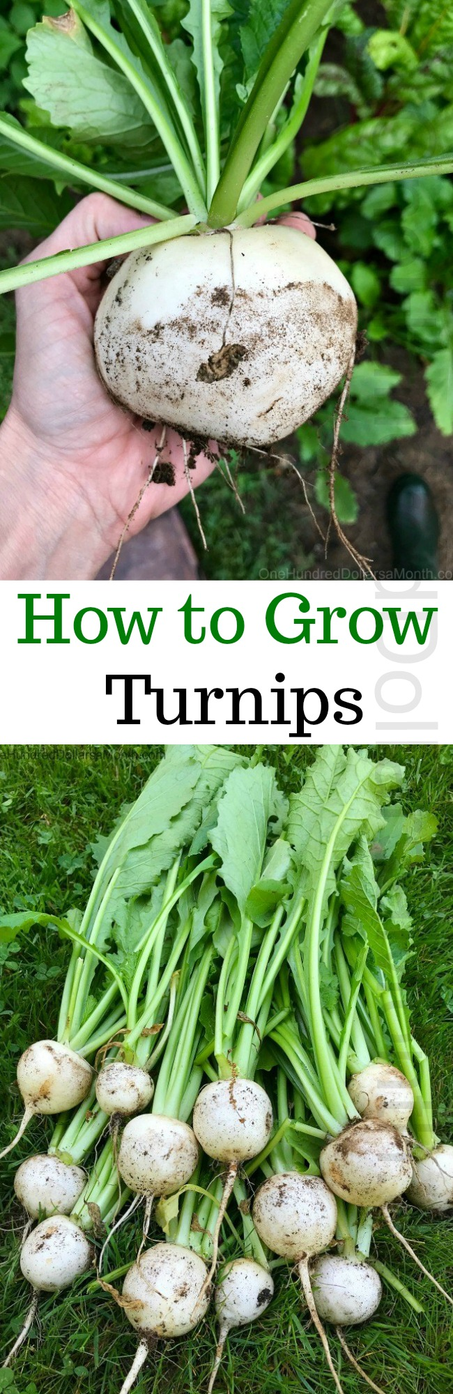How to Grow Turnips {Start to Finish}