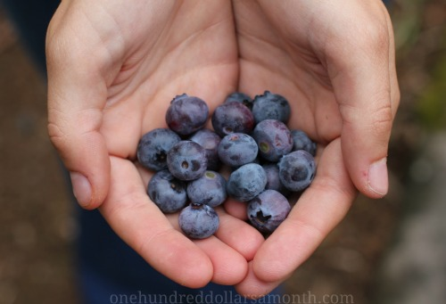 picture-of-blueberries-in-hand