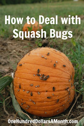 Ask Mavis – How to Deal with Squash Bugs