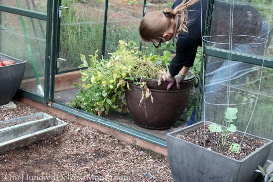 dragging pot out of a greenhouse