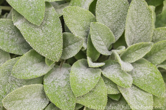 light frost on lambs ear
