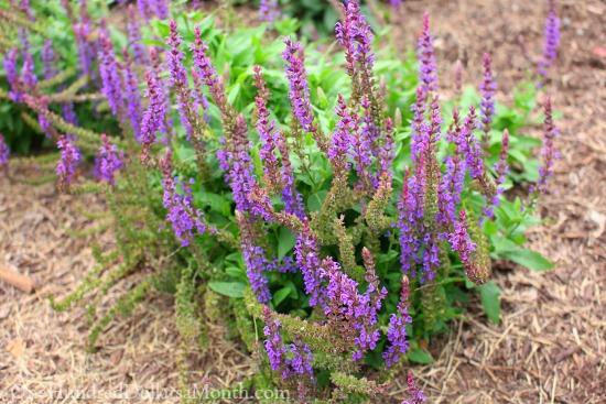 salvia purple flowers