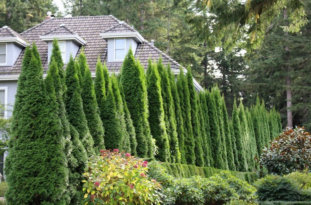 Grow Some Privacy: Plant Some Evergreen Trees and Shrubs