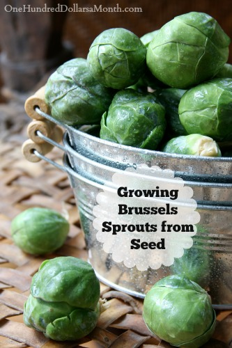 Dig for Your Dinner – Growing Brussels Sprouts from Seed