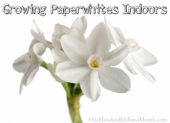 Winter Gardening – Growing Paperwhites Indoors