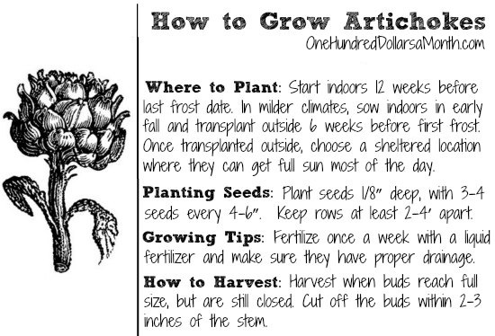 Dig for Your Dinner – Starting Artichokes from Seed