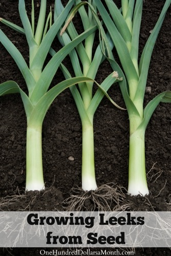 Dig for Your Dinner – Growing Leeks from Seed