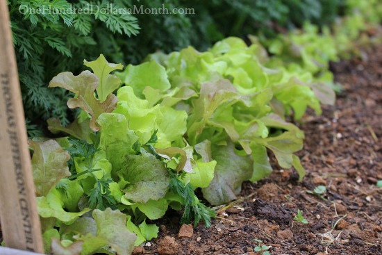growing lettuce in winter