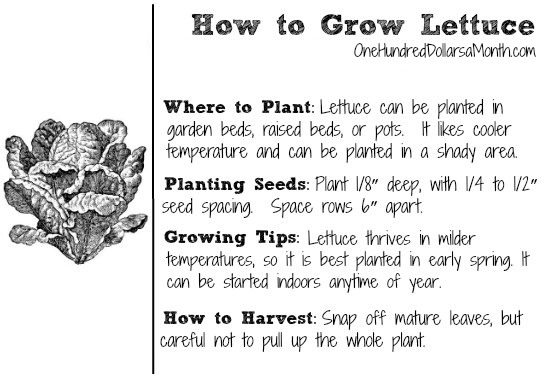 Dig for Your Dinner – Growing Lettuce from Seed