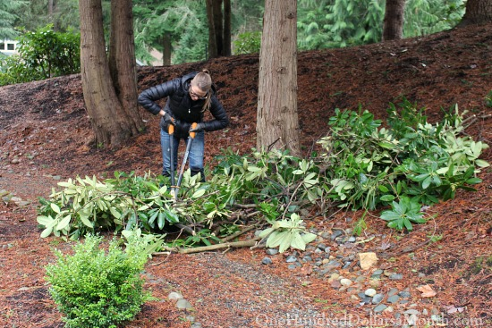 Mavis' Winter Garden Blog – Pulling Weeds, Chopping Rhodies and Planting More Trees