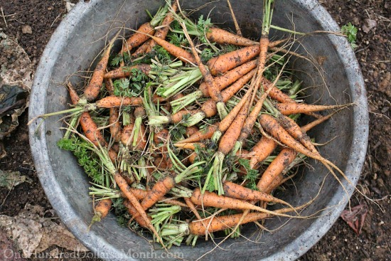 Mavis Garden Blog – Harvesting Carrots, Beet and Turnips in December
