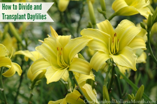 How to Divide and Transplant Daylilies