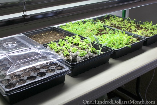 growing seedlings under grow lights