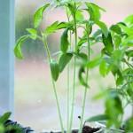 Starting Seedlings Under Grow Lights vs. Natural Light