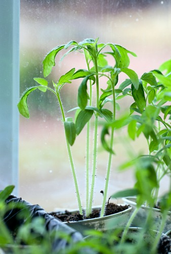 how to use grow lights for seedlings