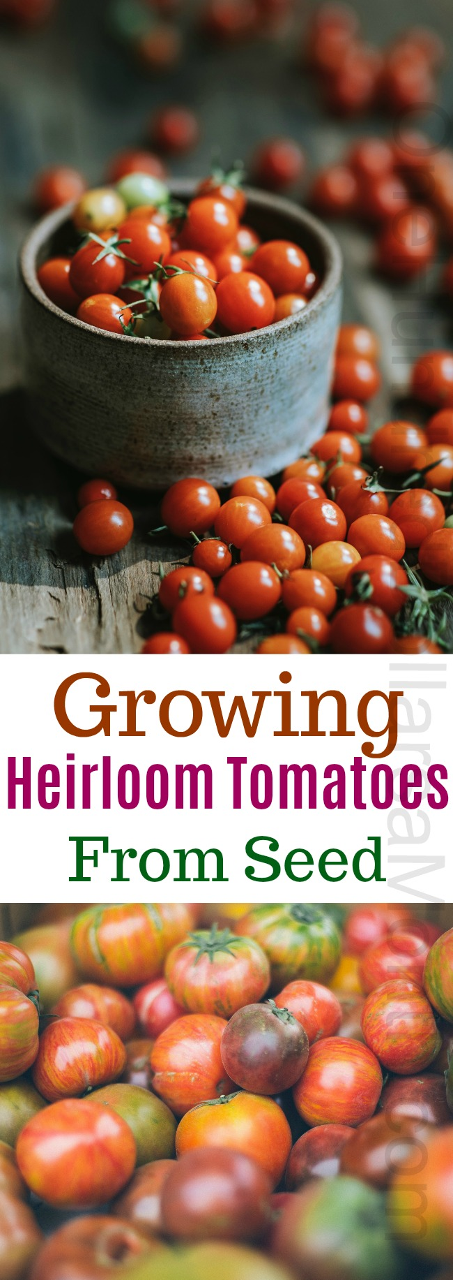 Dig For Your Dinner – Growing Heirloom Tomatoes From Seed