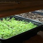 growing herbs under grow lights