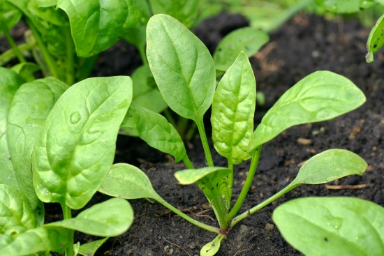 Dig for Your Dinner – Growing Spinach From Seed