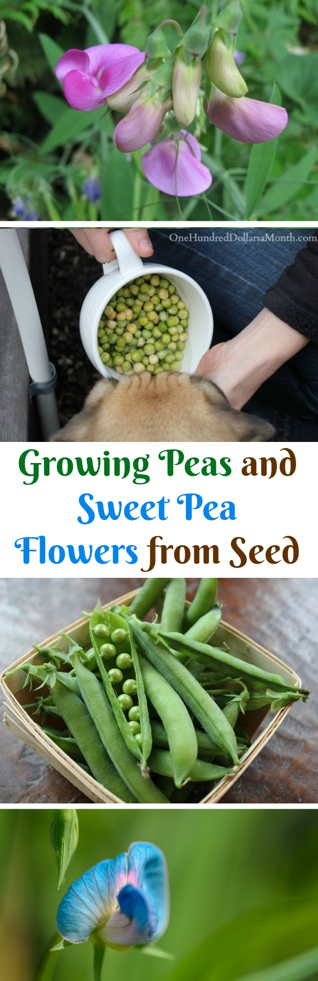 Dig For Your Dinner – Growing Peas and Sweet Pea Flowers from Seed