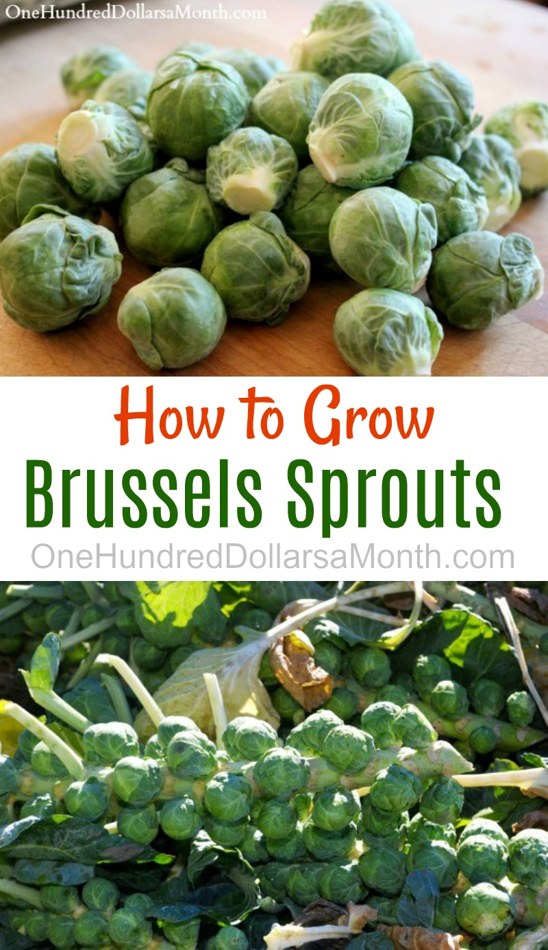 How to Grow Brussels Sprouts {Start to Finish}