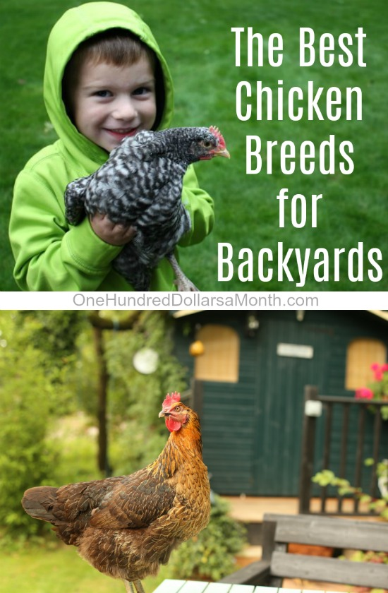 What are the Best Chicken Breeds for Backyards?