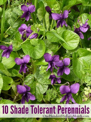 shade tolerant perennials  one hundred dollars a month, Natural flower