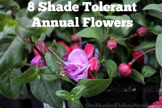 8 Shade Tolerant Annual Flowers - One Hundred Dollars a Month