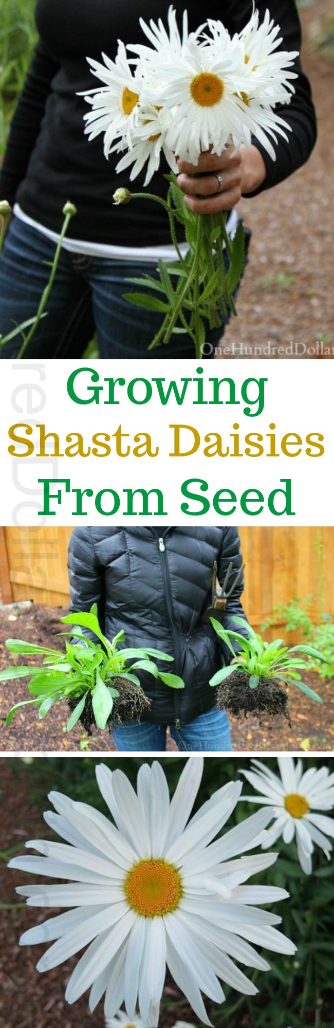 Growing Shasta Daisies From Seed