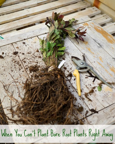 What to do When You Can't Plant Bare Root Plants Right Away…