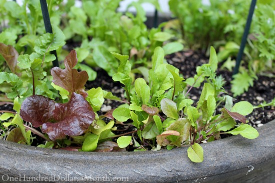 growing lettuce in containers