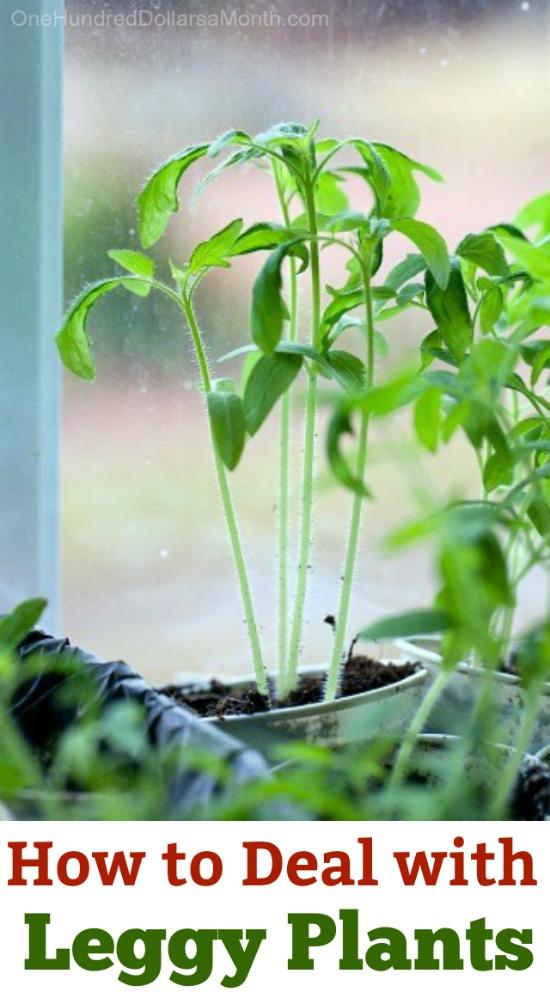 Leggy or Spindly Seedlings