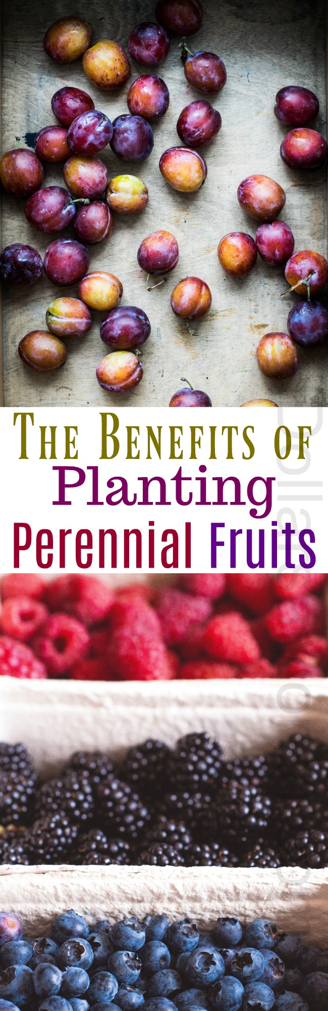 Planting Perennial Fruits