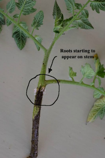 Lisa From Tasmania Uses Tomato Laterals to Get FREE Tomato Plants