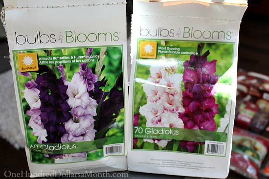 7 Tips for Growing Gladiolus