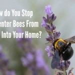 How do You Stop Carpenter Bees From Boring Into Your Home