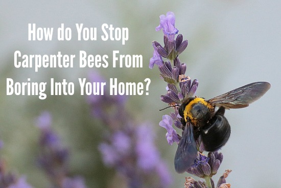 How do You Stop Carpenter Bees From Boring Into Your Home?
