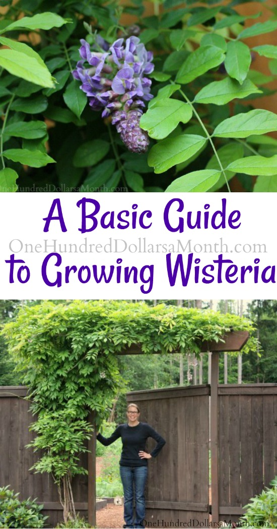 Basic Guide to Growing Wisteria