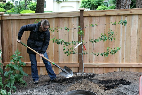 planting an espalier tree