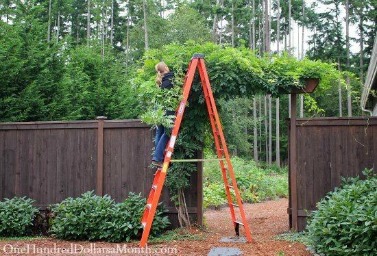 wisteria-growing-arbor