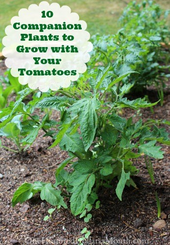 10 Companion Plants to Grow with Your Tomatoes