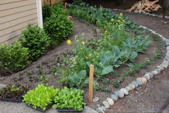Mavis Butterfield | Backyard Garden Plot Pictures 6/7/15