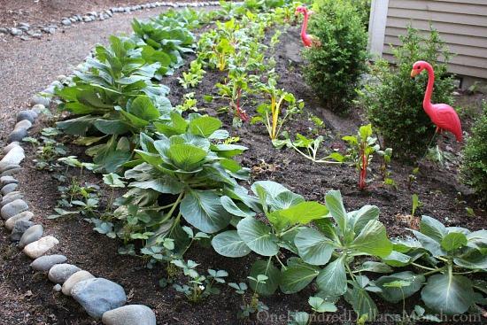 Mavis Butterfield   Backyard Garden Plot Pictures 6/21/15